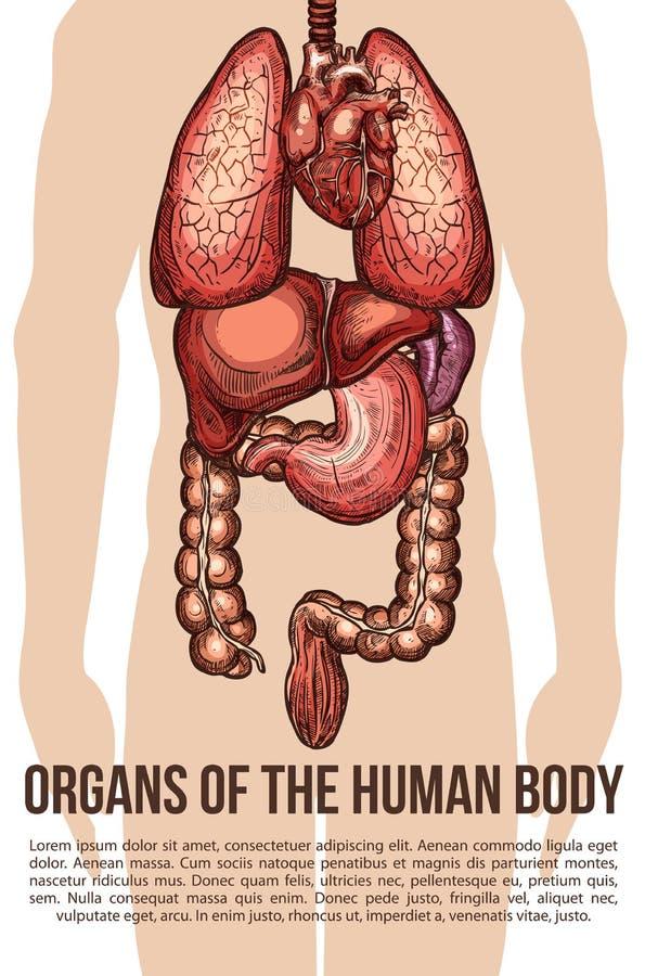 Cartaz do esboço do vetor do sistema do corpo dos órgãos humanos ilustração royalty free