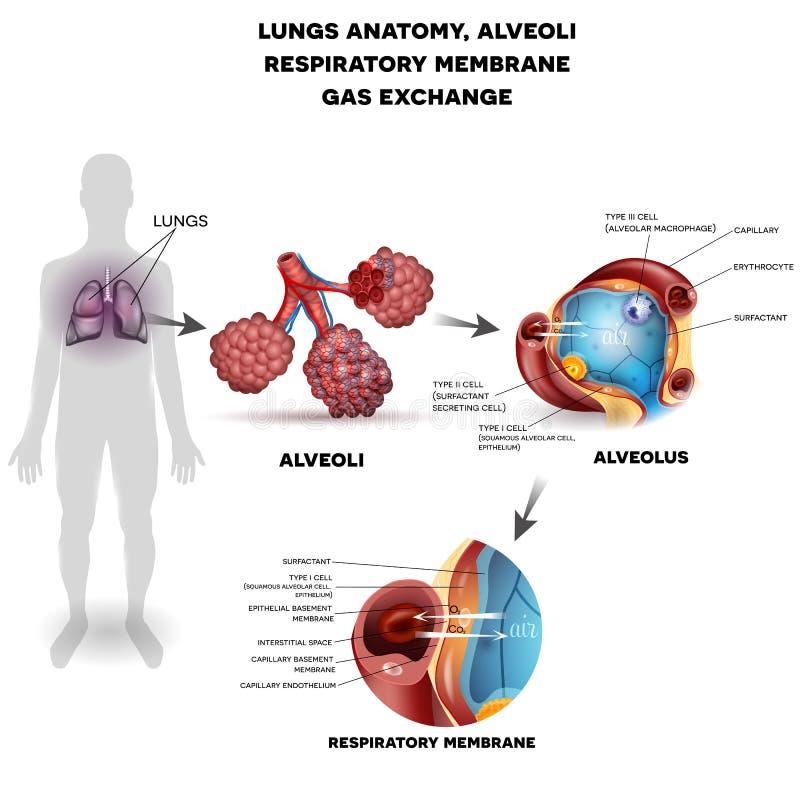 Cartaz dos órgãos da respiração ilustração do vetor