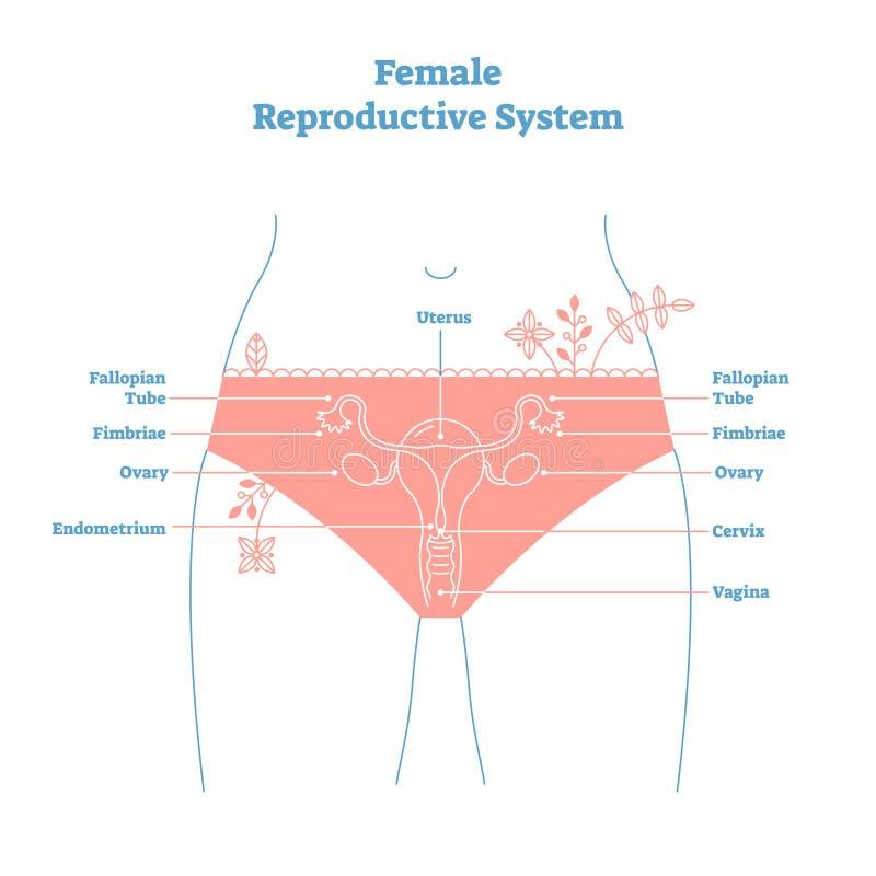 Cartaz educacional da ilustração do vetor do sistema reprodutivo de fêmea do estilo artístico Saúde e diagrama etiquetado medicin ilustração do vetor