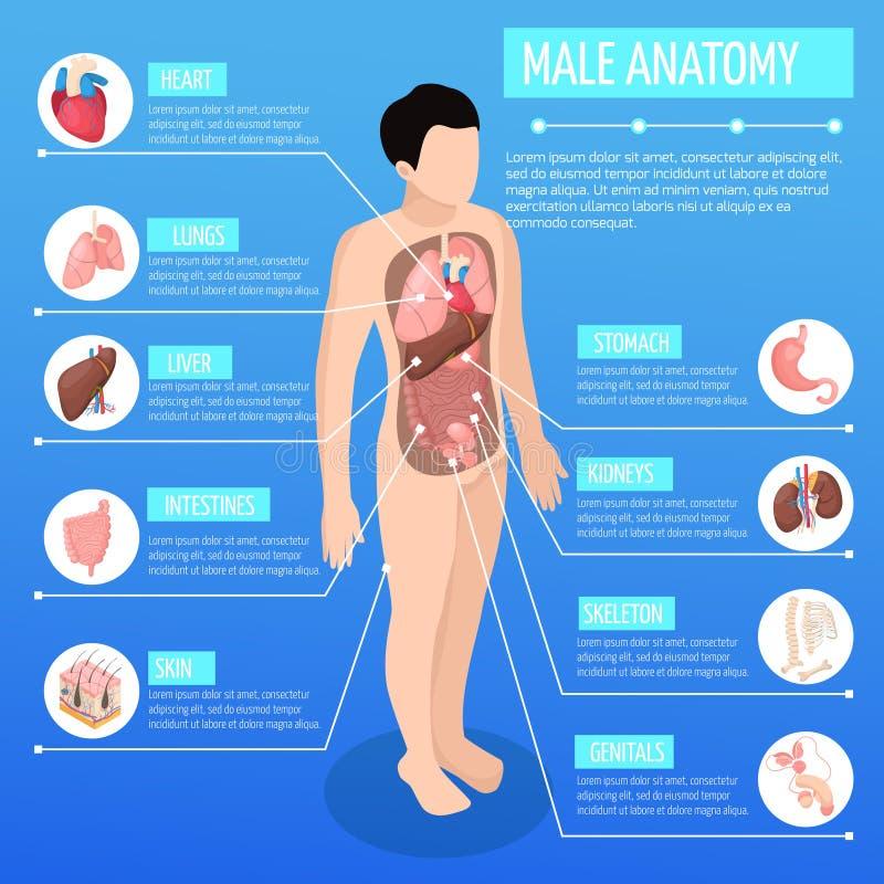 Cartaz isométrico da anatomia masculina ilustração stock