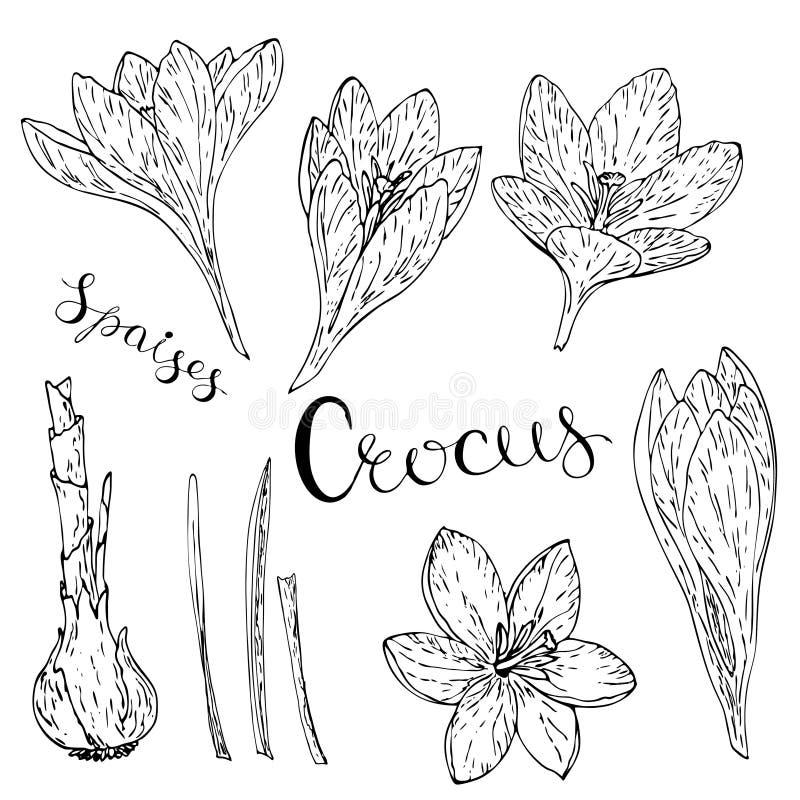 Carte de vecteur avec des crocus illustration de vecteur