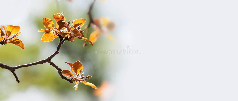 Carte tendre molle d'invitation de nature de ressort Paysage rouge frais de printemps de branche de pommier de feuilles Copiez l' photos stock