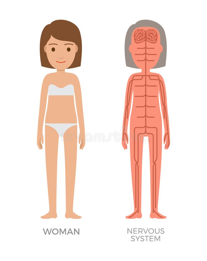 Cartel biológico colorido del sistema nervioso de la mujer stock de ilustración