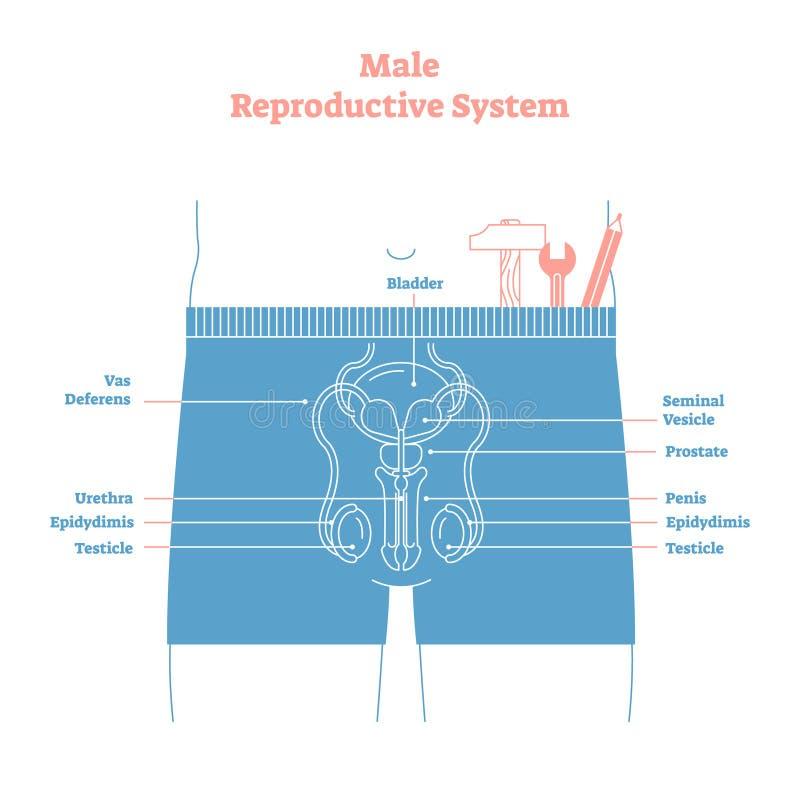 Cartel educativo del ejemplo del vector del sistema reproductivo de varón del estilo artístico Salud y diagrama etiquetado medici stock de ilustración