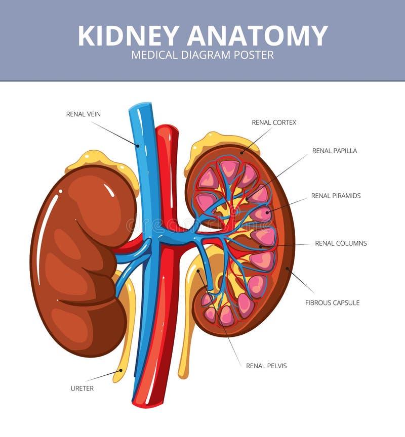 Cartel médico del diagrama del vector del riñón libre illustration