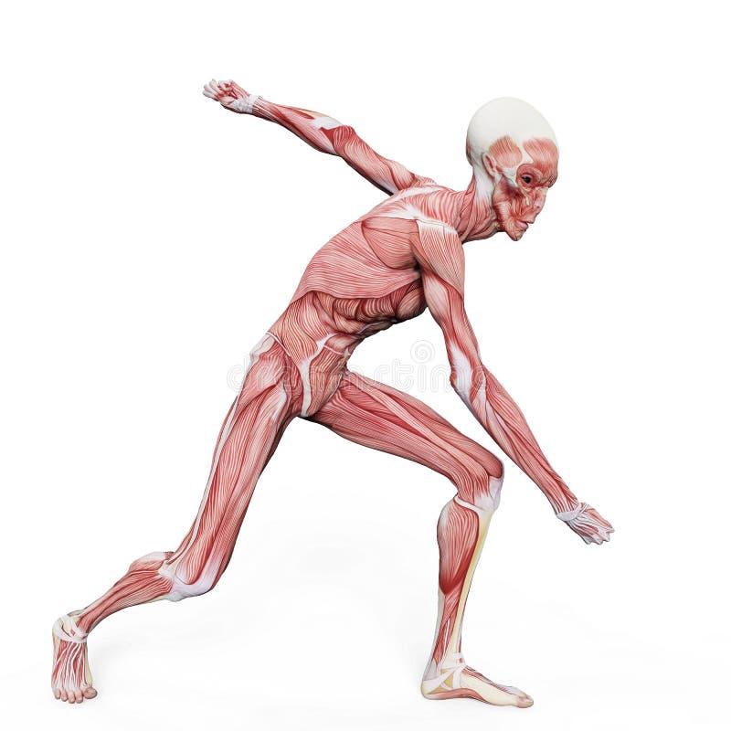Cartes étrangères de muscle sur le fond blanc illustration de vecteur