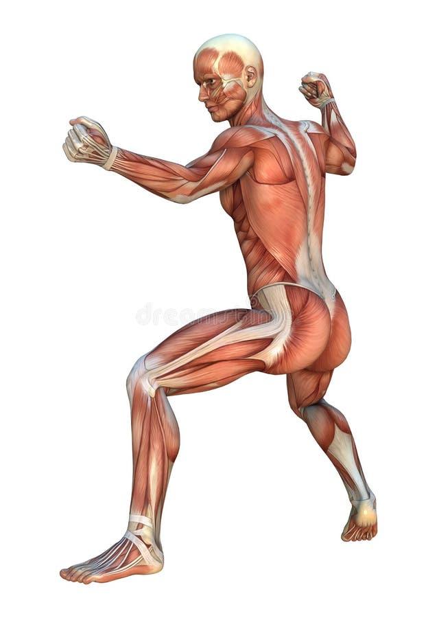 Cartes de muscle illustration de vecteur