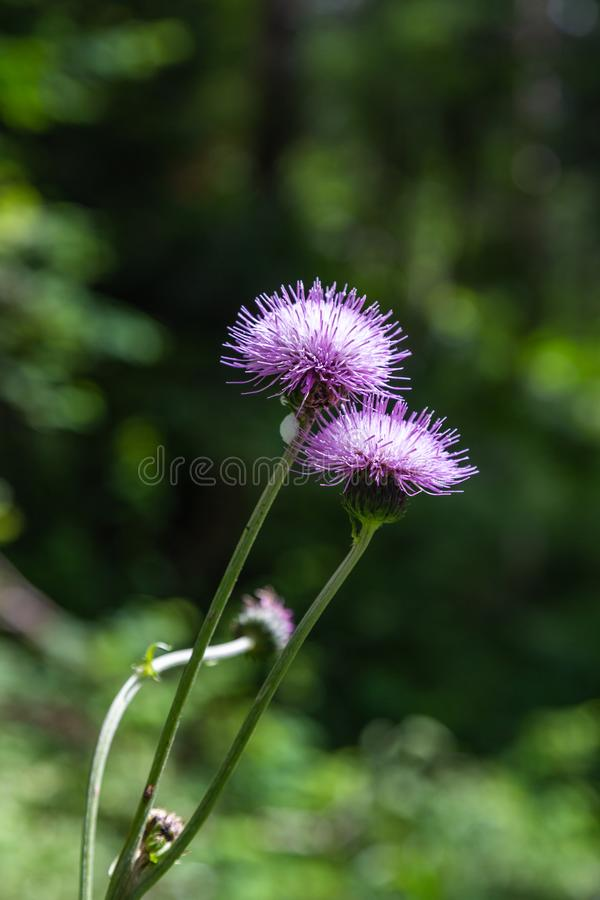 Carthamus lanatus is a species of thistle known as woolly distaff thistle, downy safflow or saffron thistle royalty free stock photo