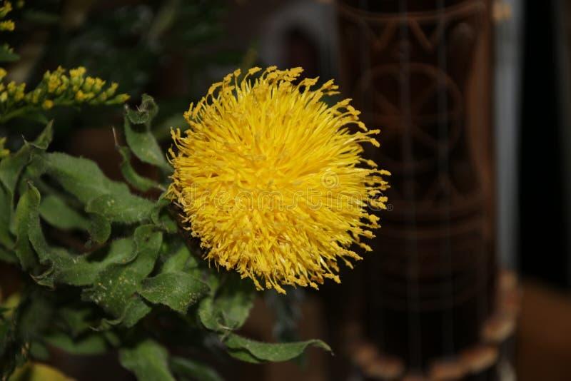 Carthamusbloem in een bouqet in gele kleur in Nederland stock afbeeldingen
