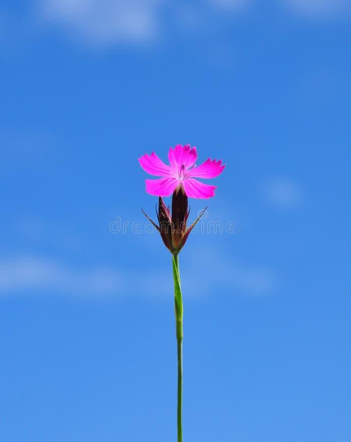 Download Carthusian Rosa Färger (Dianthuscarthusianorumen) Arkivfoto - Bild av floror, pink: 37346316