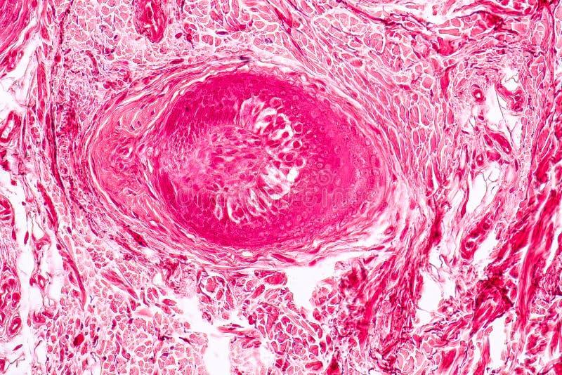 Cartilage élastique Tisue témoin histologique sous le microscope image libre de droits