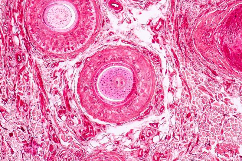 Cartilage élastique Tisue témoin histologique sous le microscope photos libres de droits