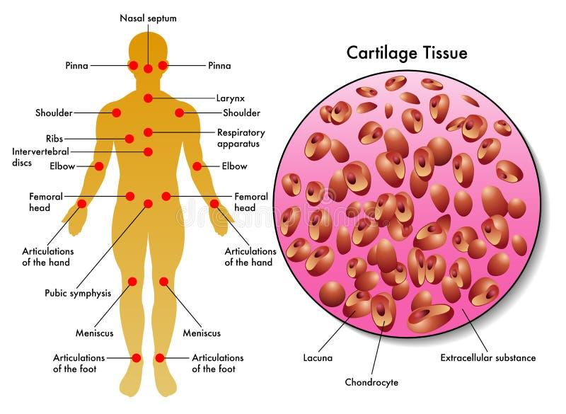 Cartilage tkanka ilustracja wektor