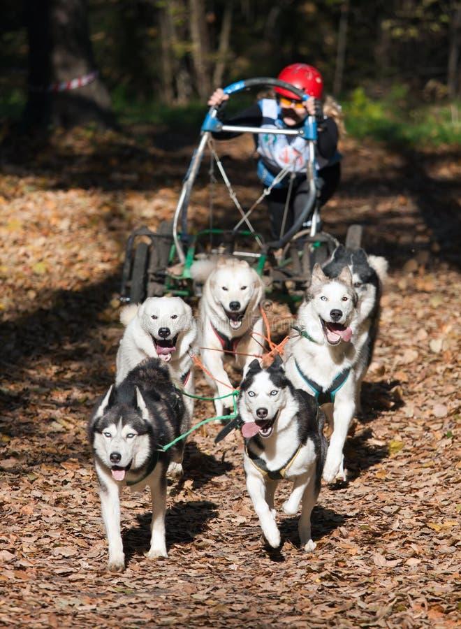 carting av hunden royaltyfria bilder