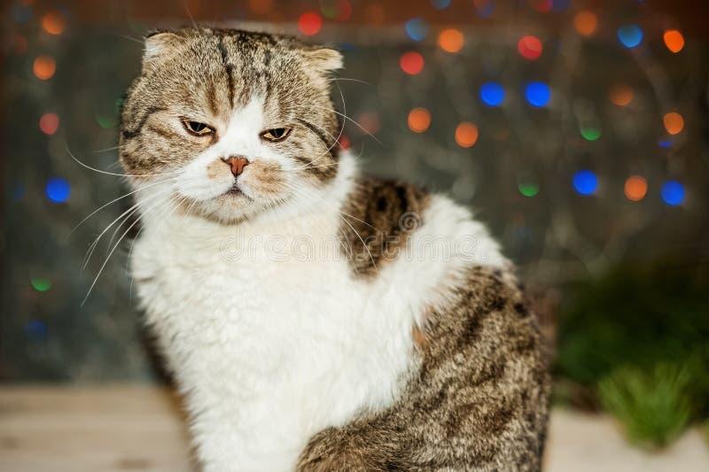 Cartolina di Natale, foto, fondo Il gatto britannico dello shorthair si siede con un fronte dispiaciuto contro lo sfondo della lu fotografia stock