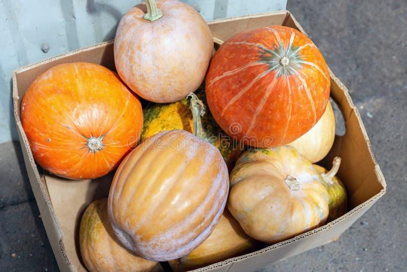 Carton box with many multicolored ripe fresh raw organic pumpkin at farmer market. Autumn halloween background stock photo
