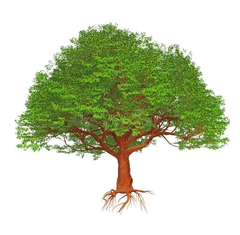 Big W White Christmas Tree: Cartoon Big Green Tree Isolated On White. Stock Vector