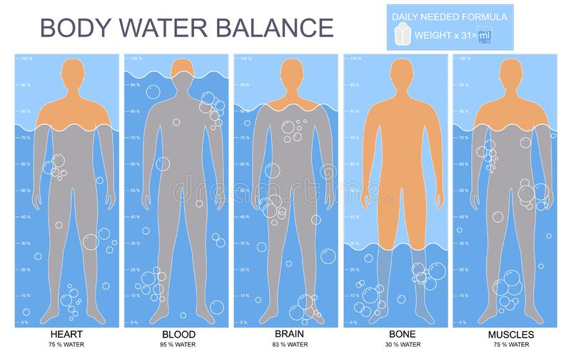 Cartoon Body and Water Chart Infographics Card Poster. Vector. Cartoon Body and Water Chart in Blood, Brain, Muscle, Bone and Heart Infographics Card Poster Flat stock illustration