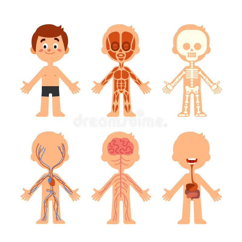 Cartoon boy body anatomy. Human biology systems anatomical chart. Skeleton, veins system and organs vector illustration stock illustration