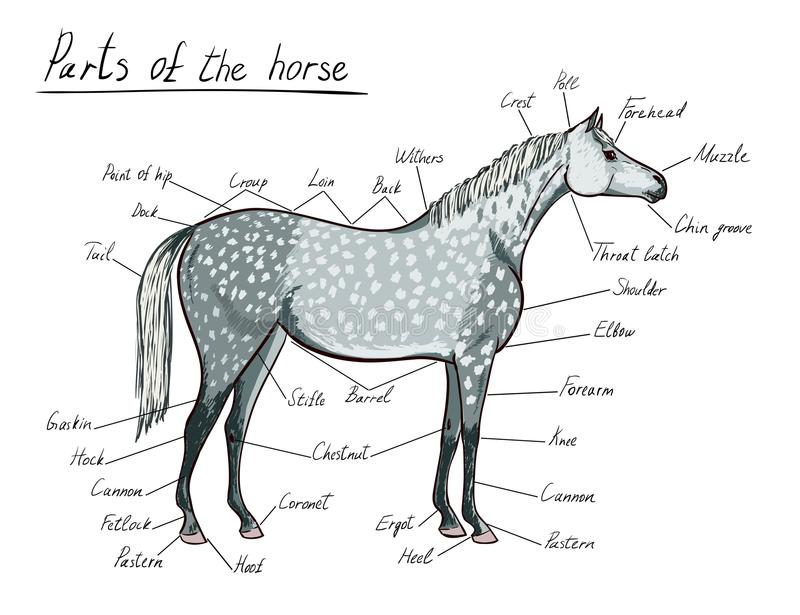 Parts Of Horse Equine Anatomy Equestrian Scheme With Text Stock