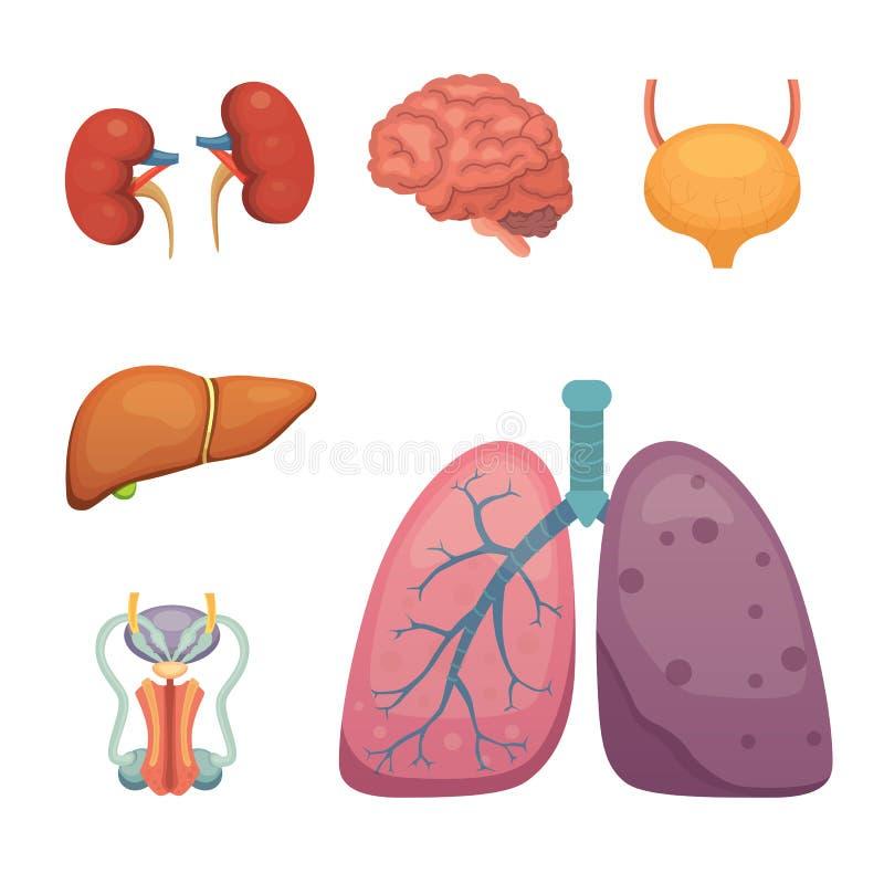 Cartoon Human Organs Set. Anatomy Of Body. Reproductive System Stock ...