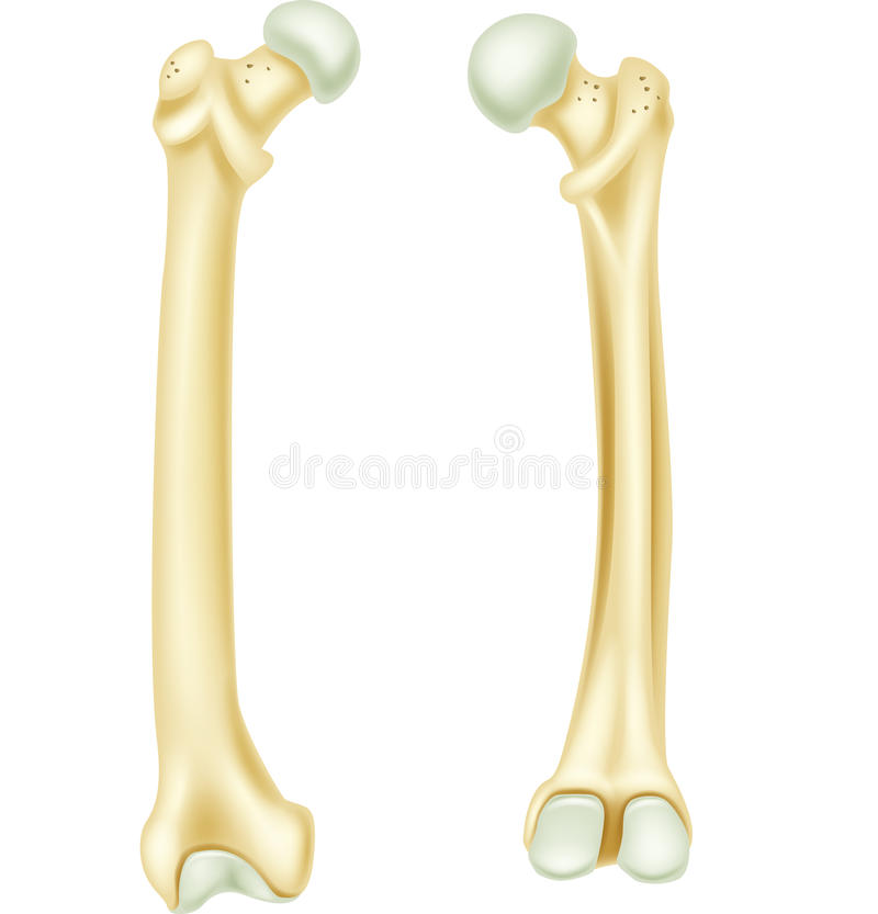 Cartoon Illustration Of Human Bone Anatomy Stock Vector ...