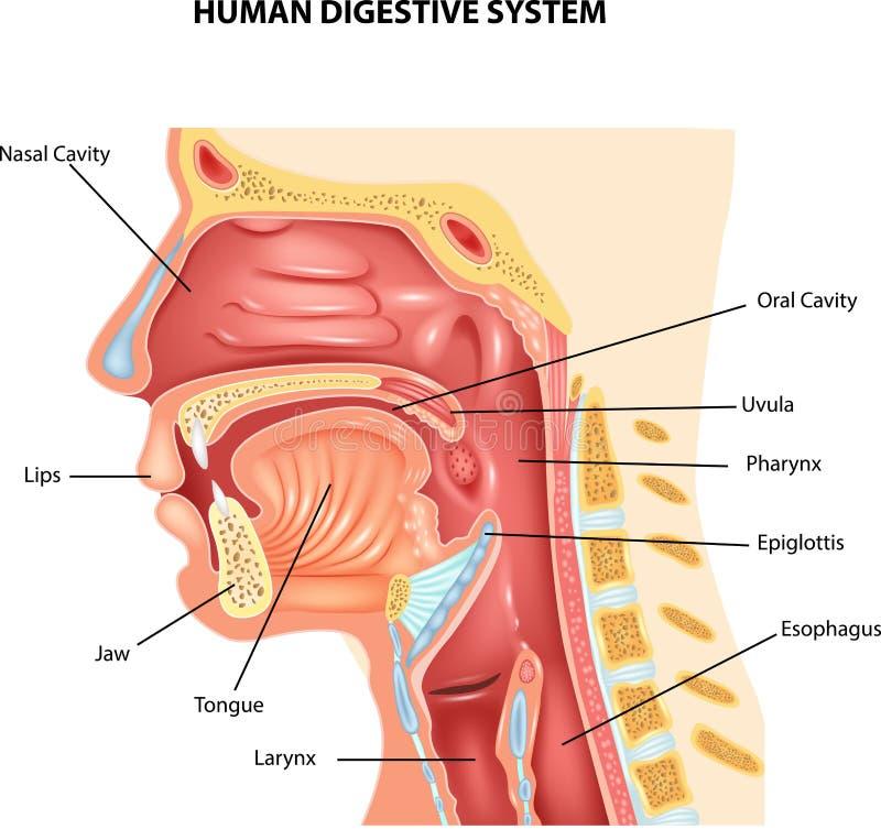Cartoon illustration of Human Digestive System royalty free illustration