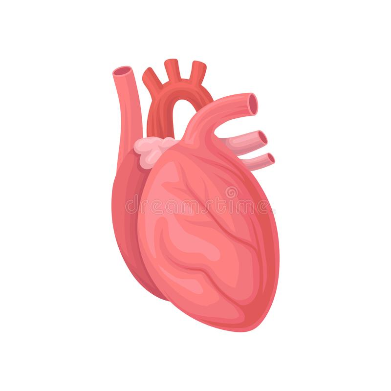 Cartoon illustration of human heart. Central organ of the circulatory system. Flat vector element for anatomy book stock illustration