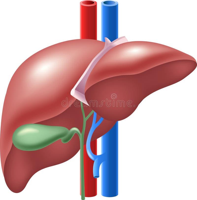 Cartoon illustration of Human Liver and Gallbladder stock illustration