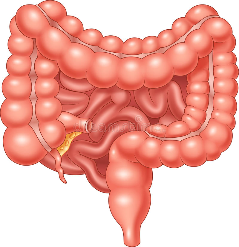 Cartoon Illustration Of Large And Small Intestine Stock Vector