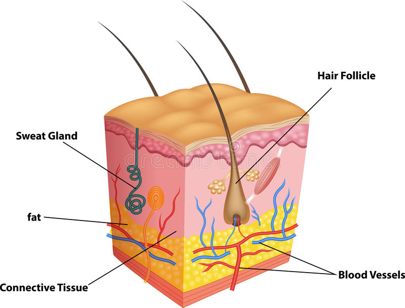 Cartoon Illustration Of The Layers Of Skin And Pores Anatomy Stock