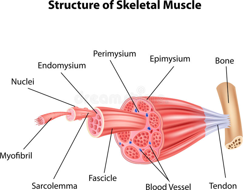 Cartoon Illustration Of Structure Skeletal Muscle Anatomy Stock ...