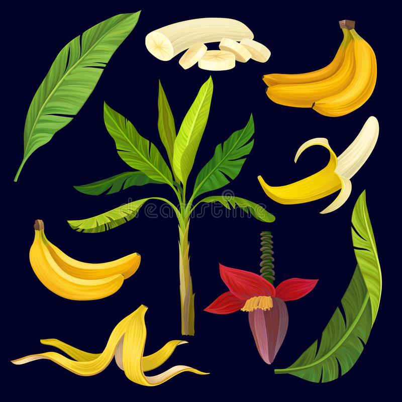 Cartoon set of sweet yellow bananas, green leaves and palm tree. Colorful tropical fruit icons. Natural botanical royalty free illustration