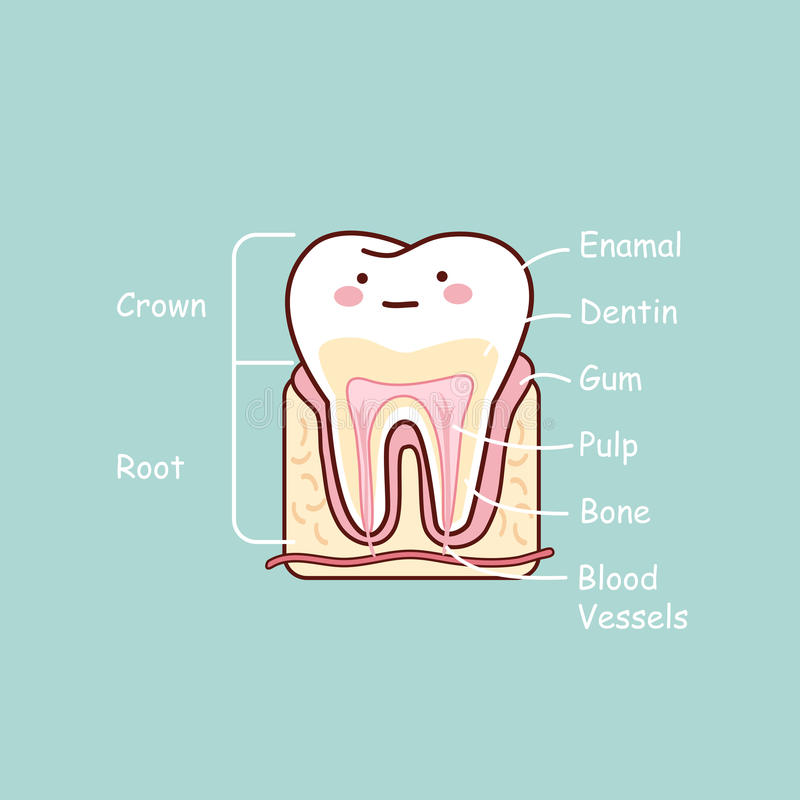 Cartoon tooth anatomy chart. Great for dental care and teeth whitening and bleaching concept royalty free illustration
