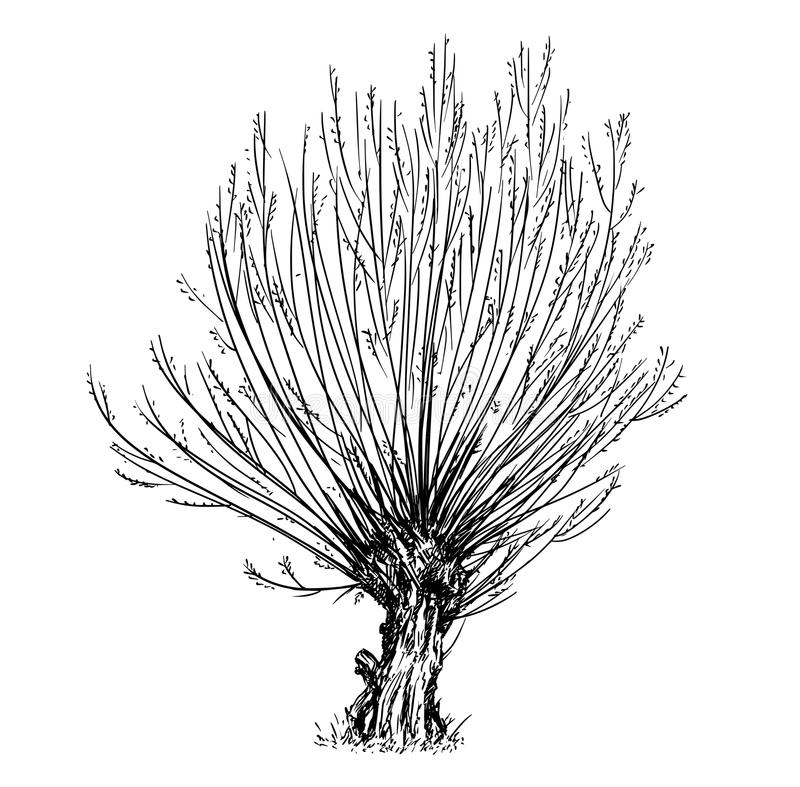 Cartoon Vector Drawing of Willow or Sallow Tree vector illustration