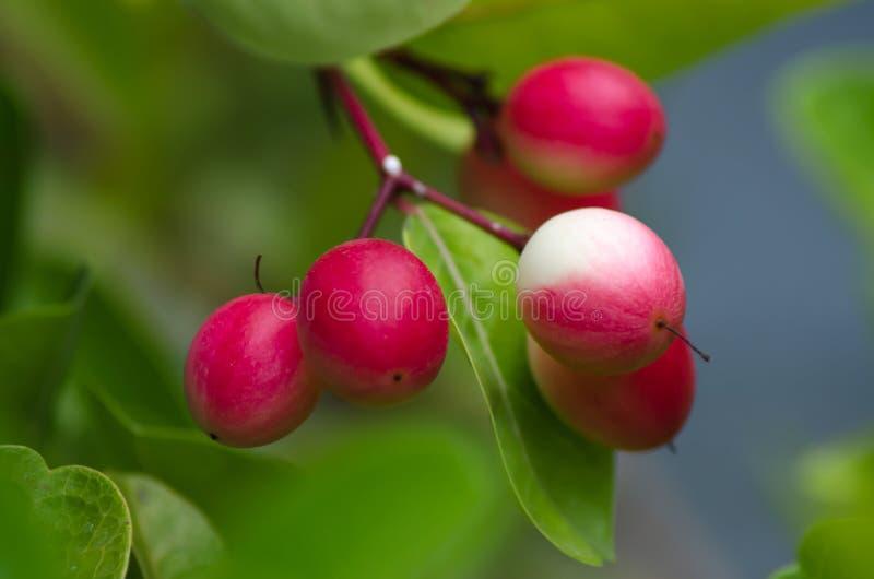 Carunda, erba del fruite di Karonda immagini stock libere da diritti