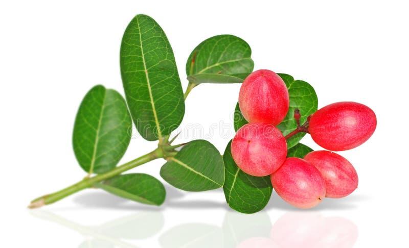 Carunda frukt som isoleras på vit bakgrund royaltyfri foto