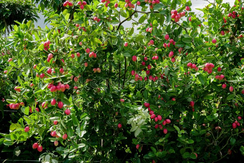Carunda or Karonda bunch ripe pink or red fruit with droplet,herb or medicine, high vitamin c,antioxidant,colorful fruit sour. Flavour, koranda, koromcha stock image