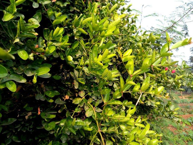 Carunda or Karonda tree in india stock photography