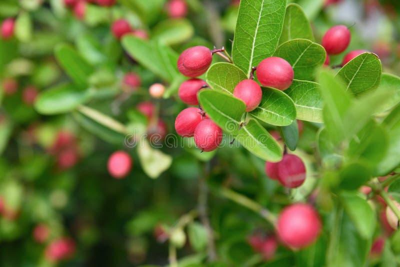 Carunda ou Karonda orgânico fresco frutificam na árvore fotos de stock