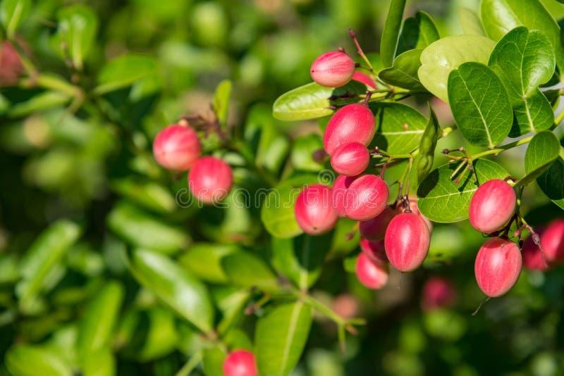 Carunda ou Karonda orgânico fresco frutificam na árvore ( Caranda do Carissa fotografia de stock