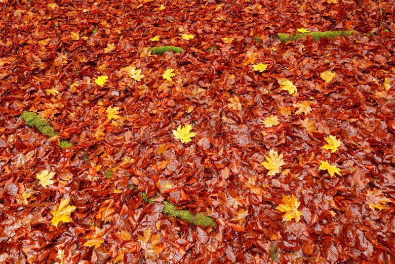 Carvalho alaranjado e folhas de bordo amarelas na terra com raizes verdes do musgo Imagem do outono da folha checa do outono da f fotos de stock royalty free