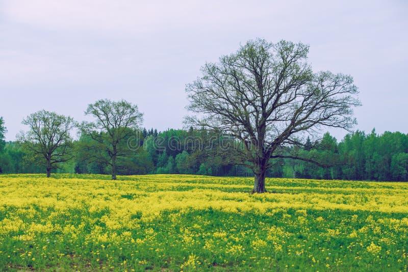 Carvalho com violação amarela no prado foto de stock