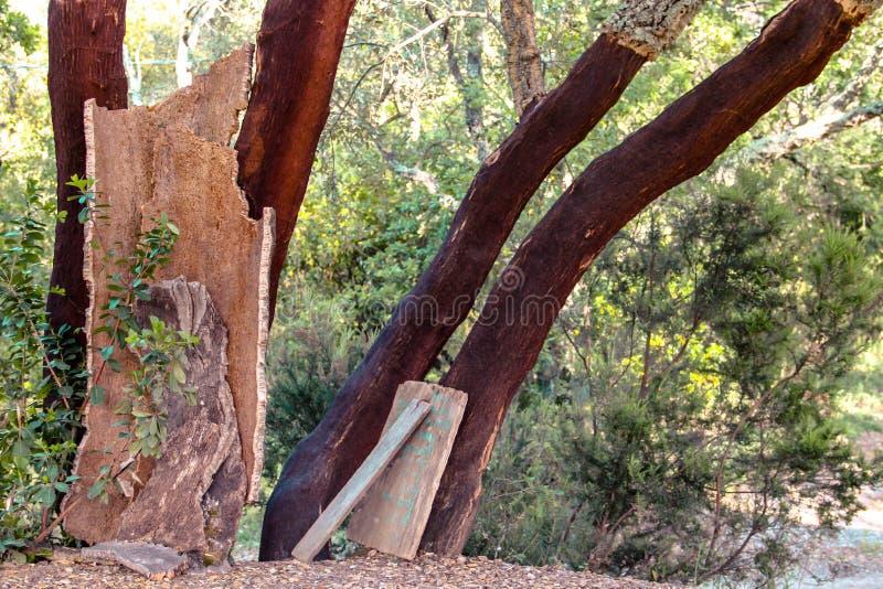 Carvalho da árvore de Corck fotos de stock royalty free