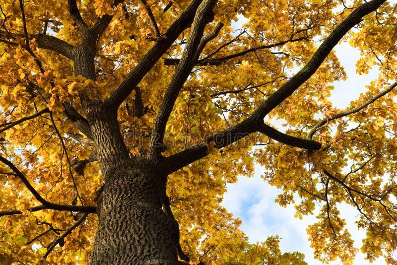 Carvalho da árvore dos ramos com o montão das folhas na natureza imagem de stock