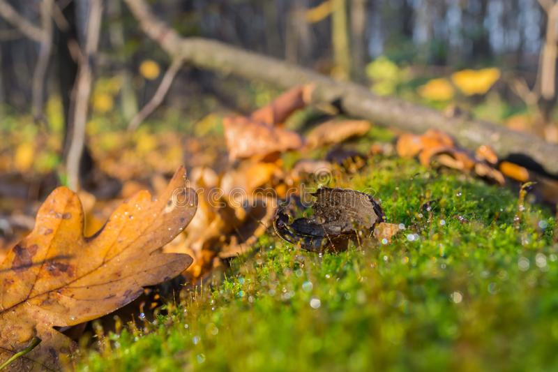 Carvalho da bolota mordido pelo esquilo no musgo verde de uma árvore caída velha na floresta imagem de stock