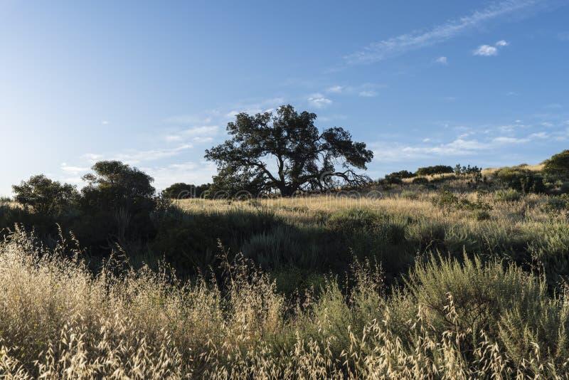 Carvalho da cume em Santa Susana Pass State Historic Park em Los Angeles imagens de stock royalty free