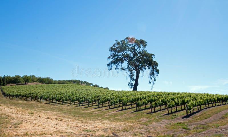 Carvalho de Califórnia nos vinhedos sob o céu azul na região vinícola de Paso Robles em Califórnia central EUA fotos de stock royalty free