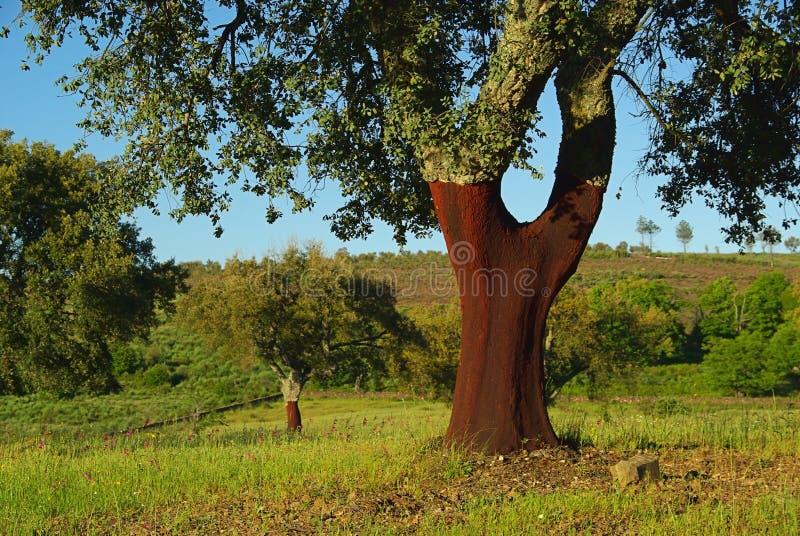 Carvalho de cortiça 01 fotografia de stock royalty free