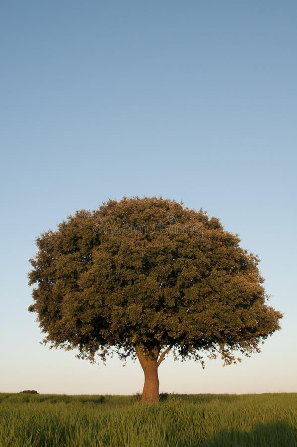 Carvalho de pequena ilha no campo de cereal verde, ilex do Quercus imagens de stock royalty free